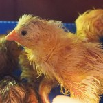 The conclusion chicks in an incubator Broody Zoom
