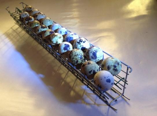 Inkubator przepiórek