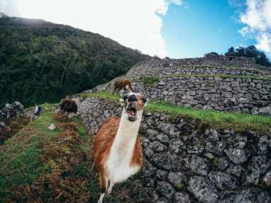 Wild llamas and alpacas along the Inca Trail to Machu Picchu