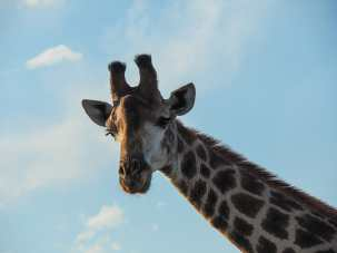 Giraffe wonders who we are