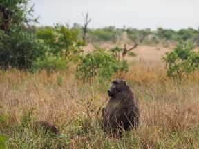 Thoughtful baboon
