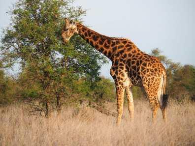 Giraffe having a little snack