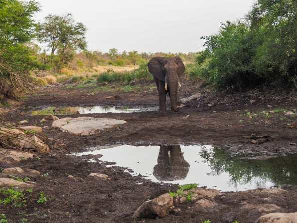 Stunning wild elephant in Kruger National Park