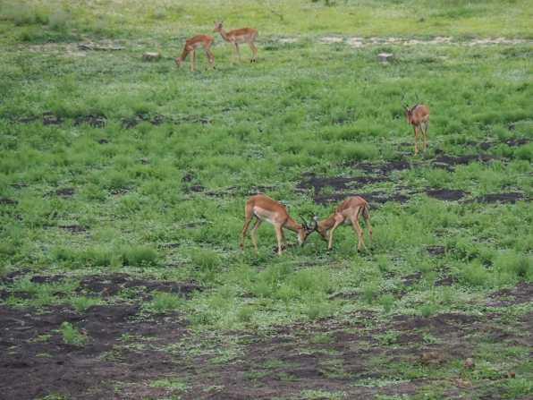 Male impala fighting