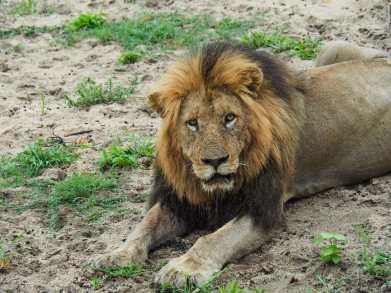 Big male lion having a rest