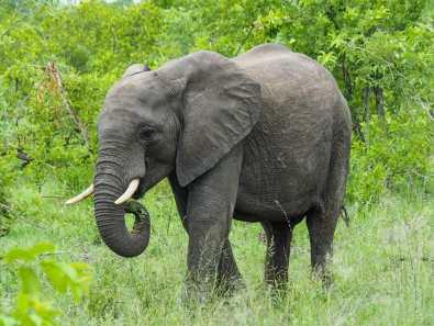 Elephant munching on some leaves