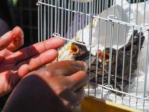 Boniwe feeds the baby birds