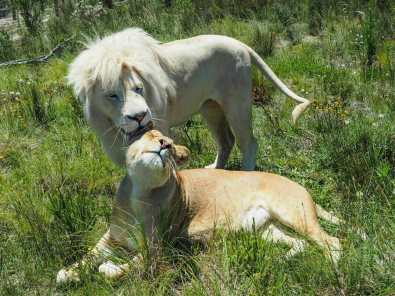 Checking to see if the lioness is ready to mate