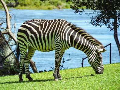 Zebra roaming around the Royal Livingstone