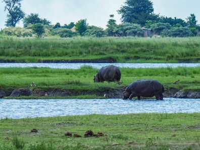 Hippos enjoying an afternoon graze