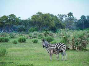 Mother & baby zebra