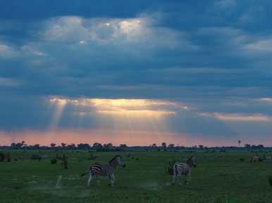 Zebra running around in the early morning light