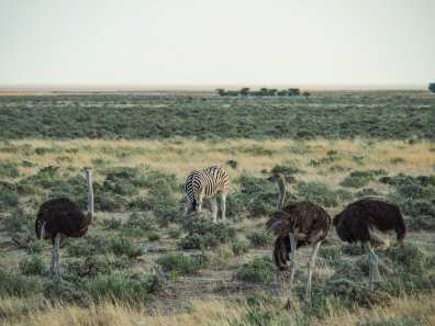 Zebra making friends with ostriches