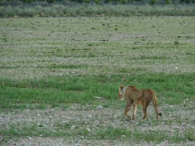 Lioness stalking off