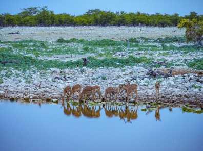 A group of impala