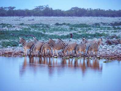 Zebras flock to the watering hole