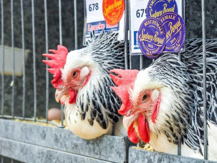 Prize winning chickens