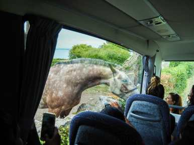 A special visitor on our drive to the Burren