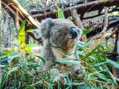 Breeza Grant snacking on some eucalyptus leaves