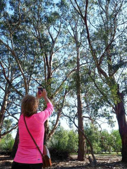 Mum photographing koalas at Hanson Bay