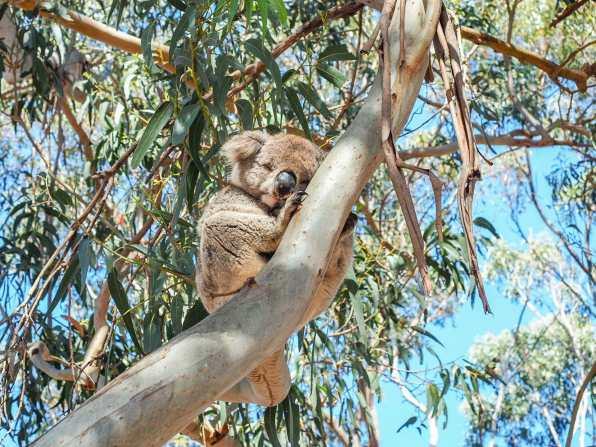 Beautiful little koala at Hanson Bay
