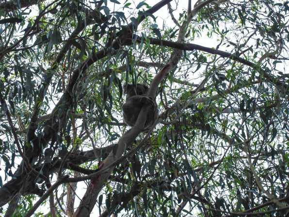 Koalas at Western KI