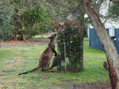 Hungry kangaroos at Western KI