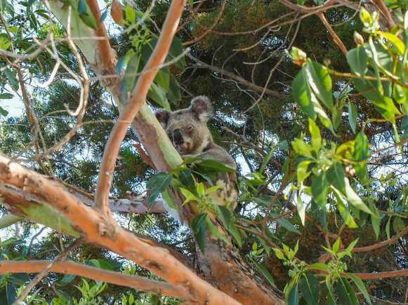 Wild koala sleeping in the trees