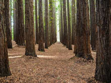 Rows and rows of Redwoods