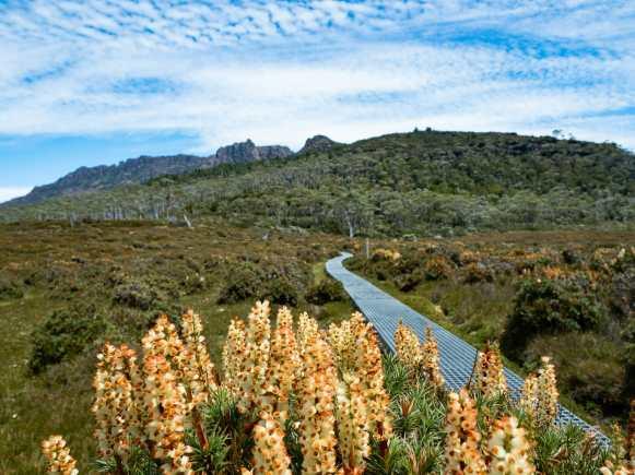 Wildflowers at Mt Ossa