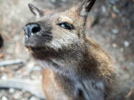 Adorable local wallaby