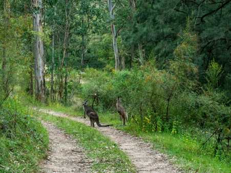 Local kangaroos hanging around Cox River