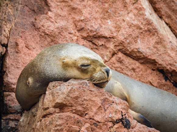 Adorable sea lion on the Ballestas Islands