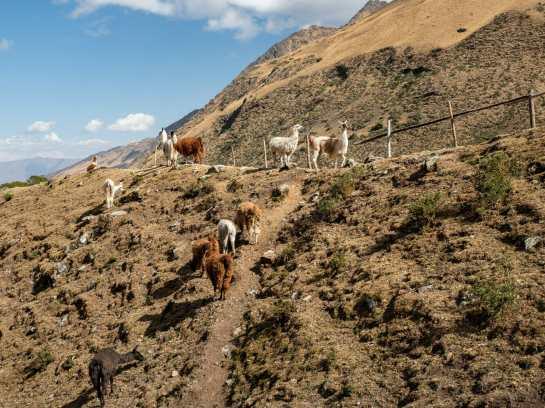 Wild llamas (or are they alpacas?) on the hillside