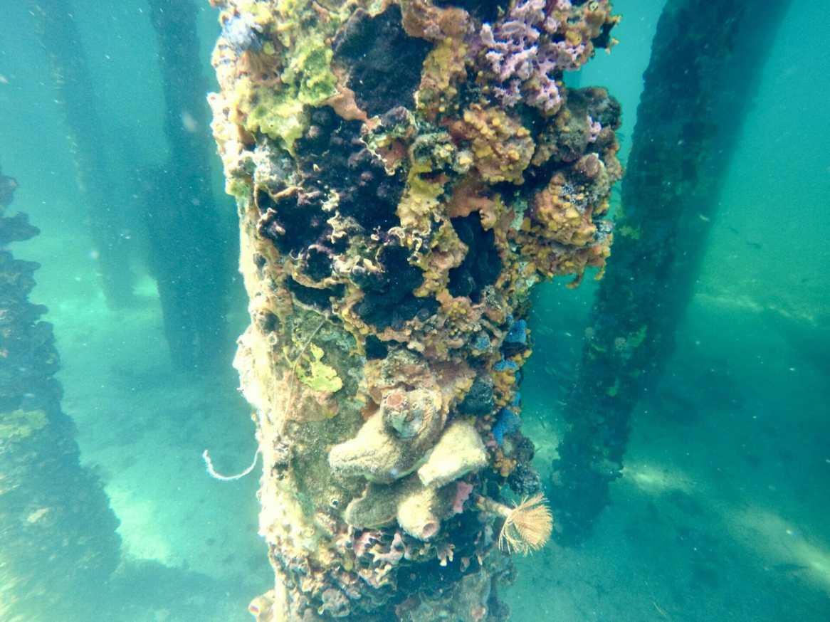 Reef under Busselton Jetty Western Australia