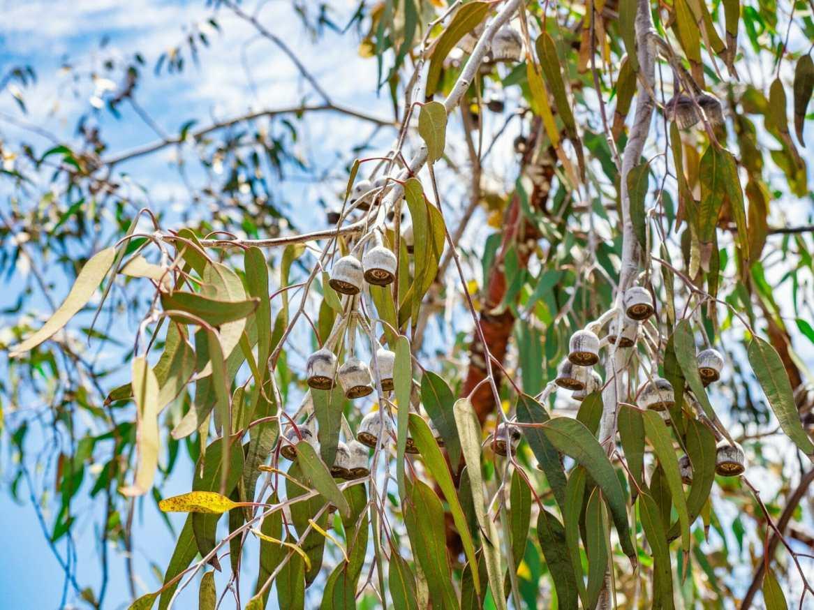 Gumnuts on tree Perth Western Australia
