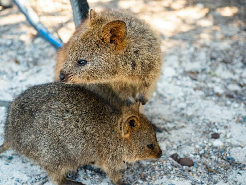 Quokkas Rottnest Island Perth Western Australia