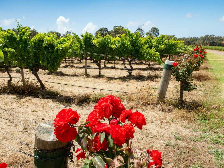 Red roses vineyard Margaret River Western Australia
