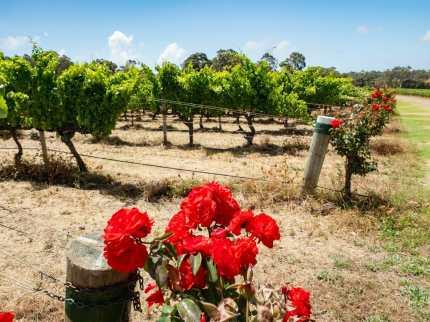 Roses in vineyard Margaret River Australia