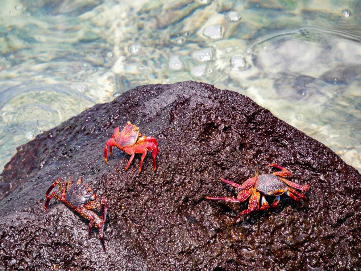 Sally Lightfoot Crabs on red volcanic rock in Galápagos