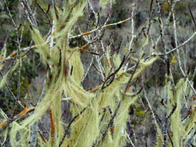 Amazing wispy moss at Cerro Orchilla