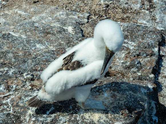 Baby Blue-Footed Booby bird Galápagos