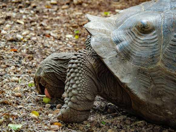 Galápagos tortoise eating fruit Isla Isabela