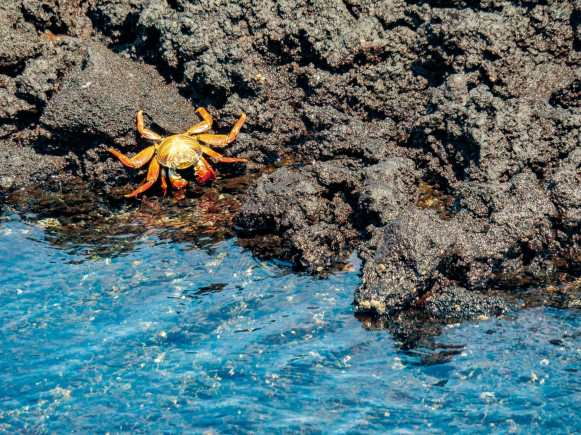 Red crab on black volcanic rock near blue water Galápagos