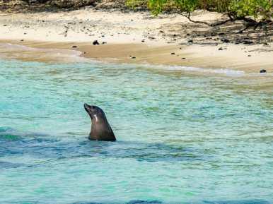 Galápagos Sea Lion swimming in the ocean