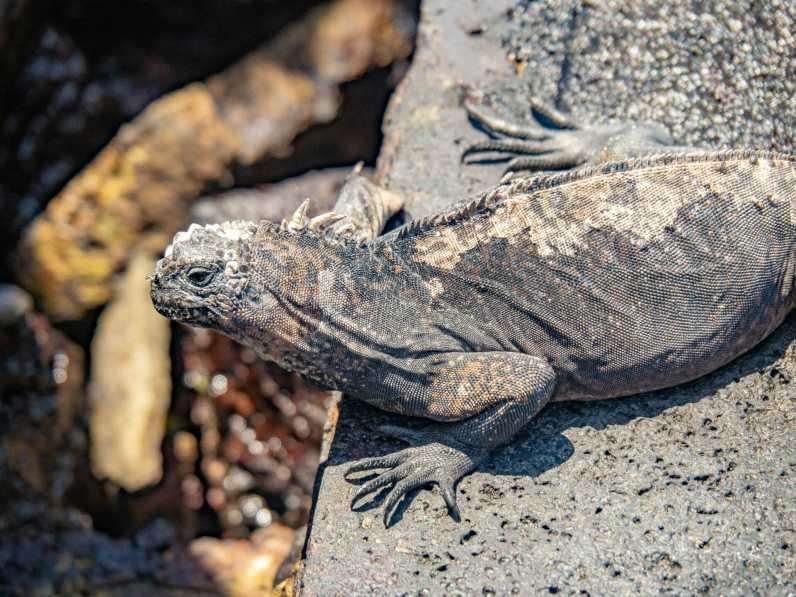 Marine iguanas on Isla Bartolomé