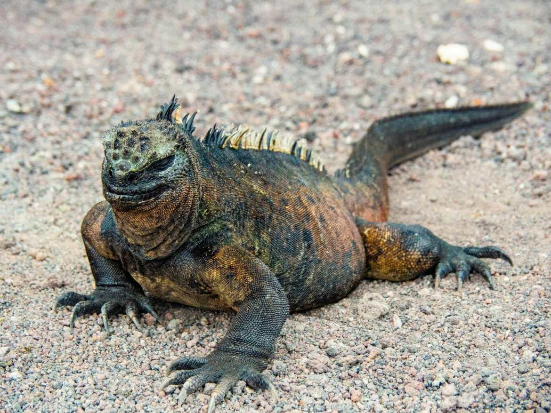 Marine Iguana posing on the sand in Galápagos