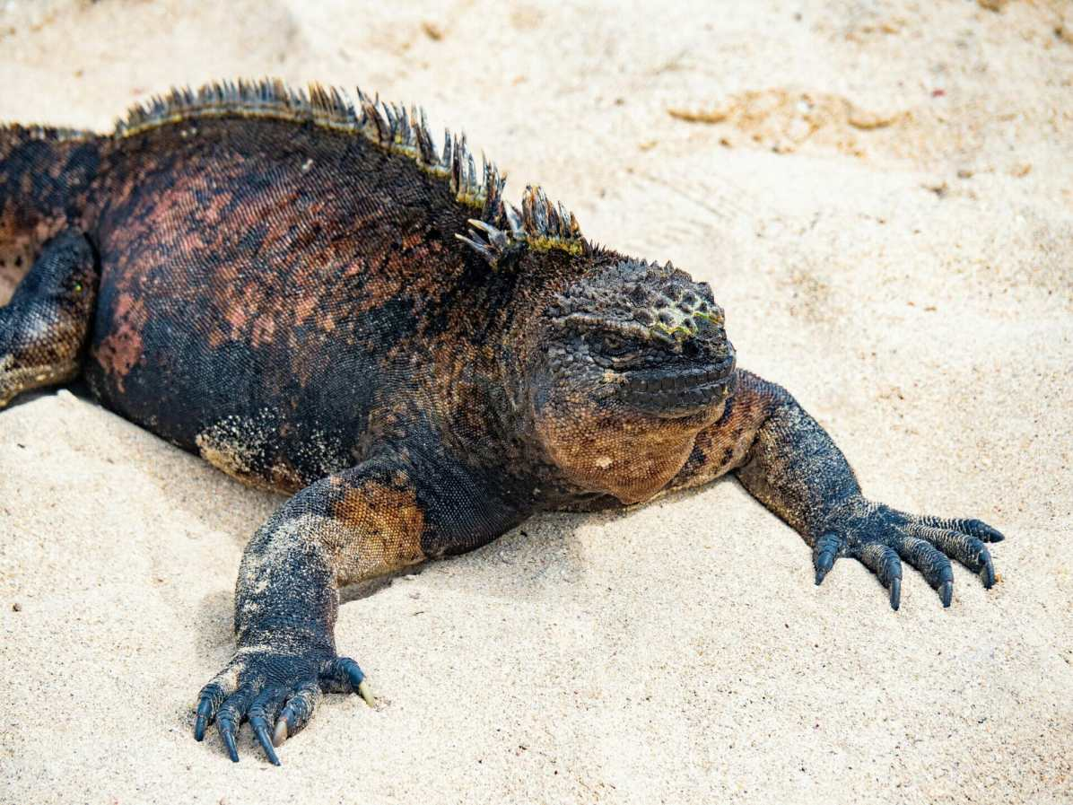 Marine iguana laying on sand beach Galápagos