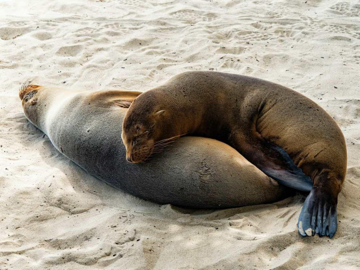 Galápagos Sea Lions sleeping together on beach