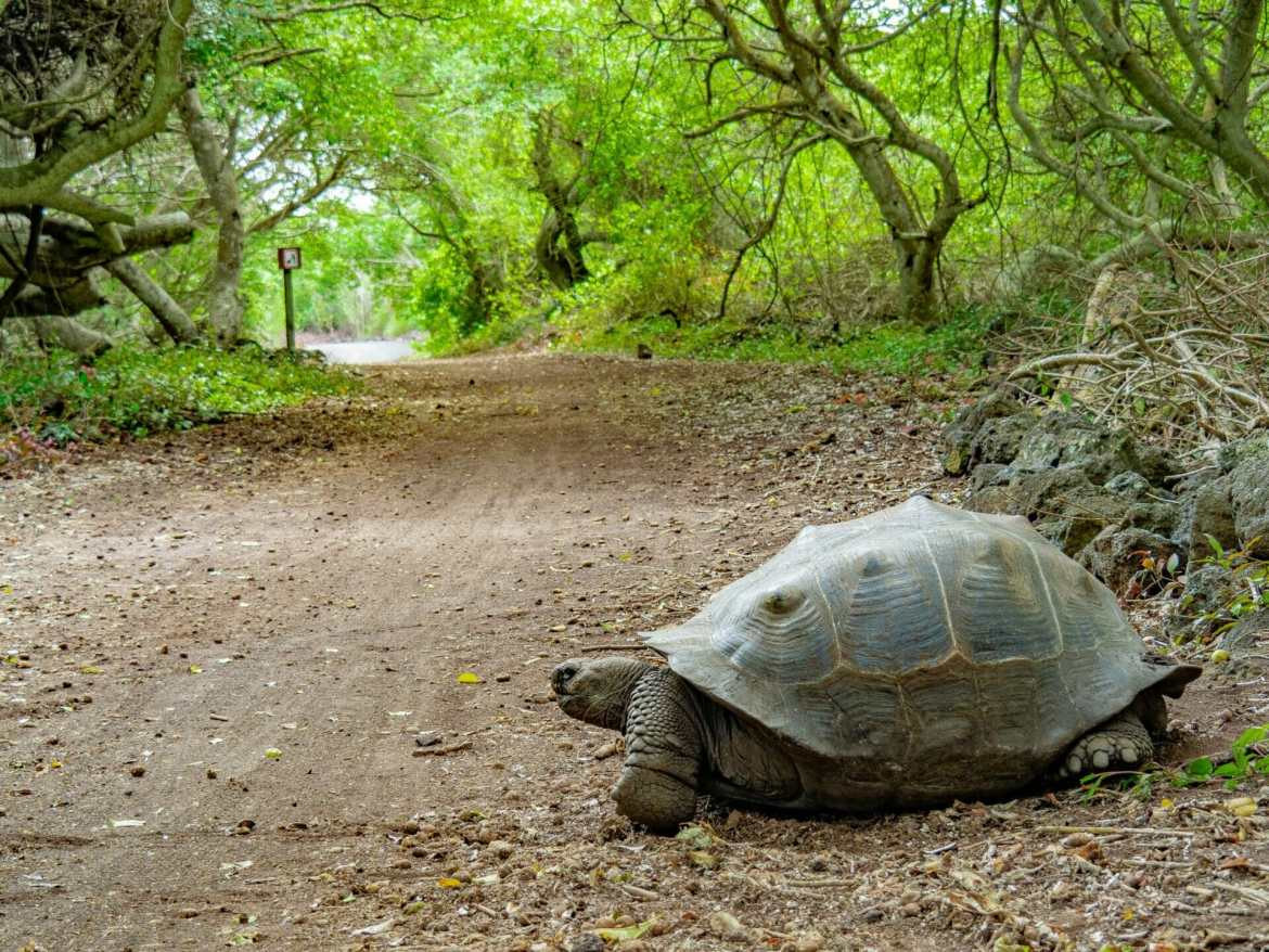 Galápagos tortoise crossing the road